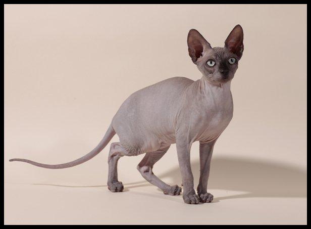 raza gato sphynx