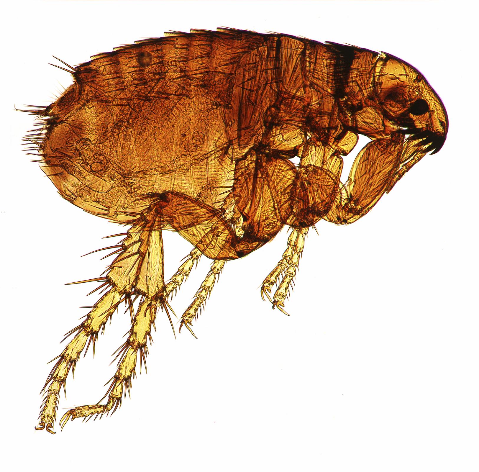 como evitar las pulgas