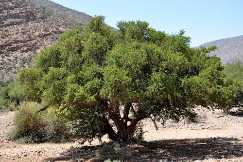 Arbol de aceite de argan
